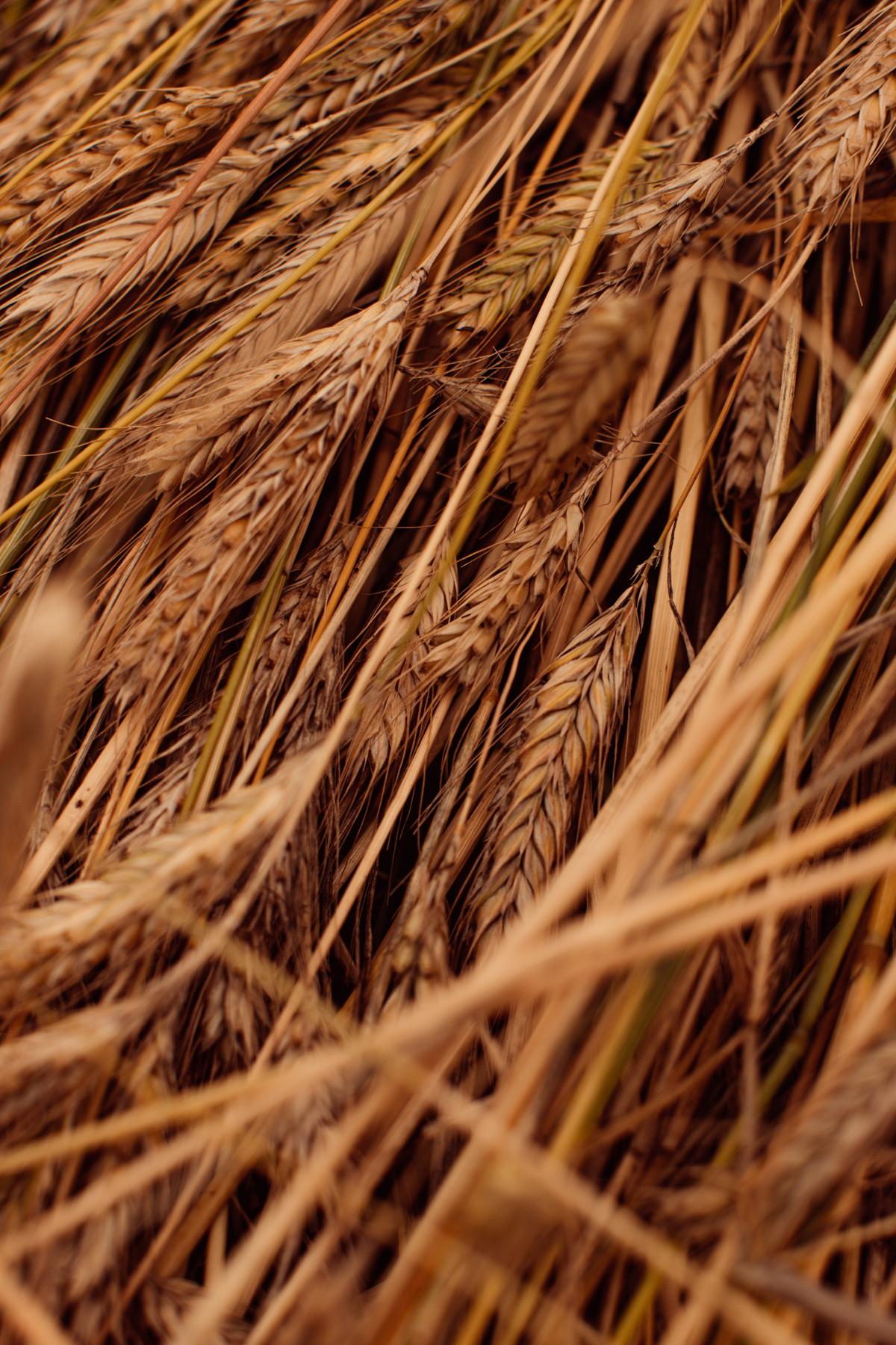 wheat-77