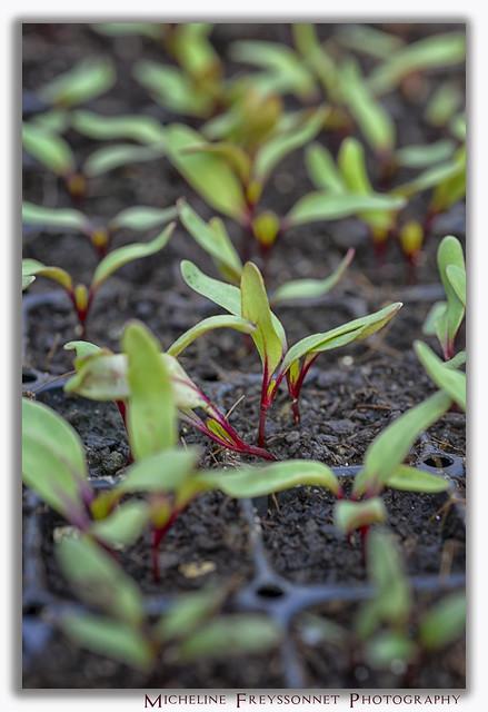 200523_046 Swiss Chard Sprouts - Pousses de Bette à Carde