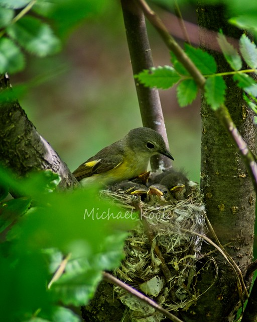 American Redstart, Female with Chicks