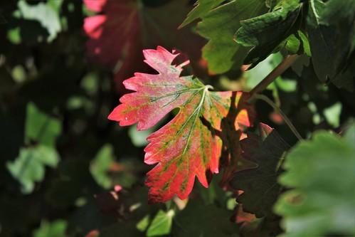 Ribes aureum (= R. odoratum) - groseiller doré  50132026998_04c7cd2c10