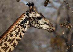 Masai giraffe, Katavi National Park, Tanzania
