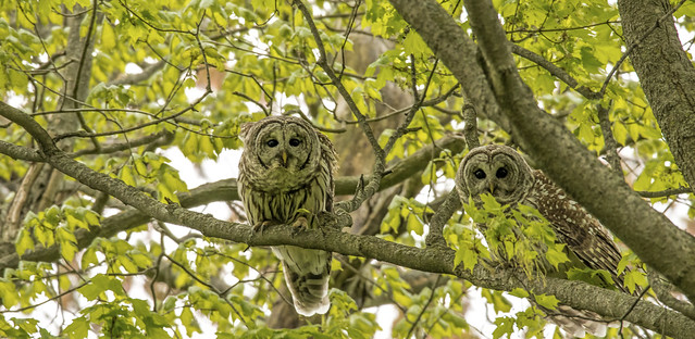 Two Barred Owls taking a look a me......