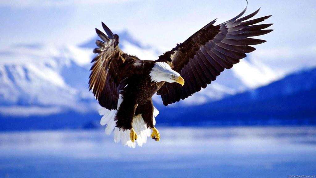 24+ Bald Eagle Wallpaper Hd Gif