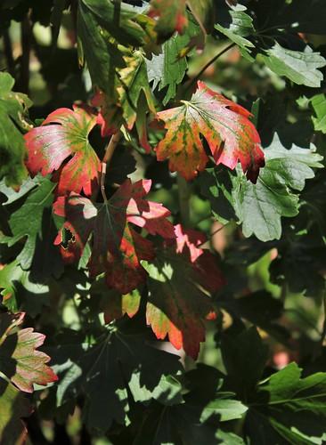 Ribes aureum (= R. odoratum) - groseiller doré  50132582261_3b86c0c89d