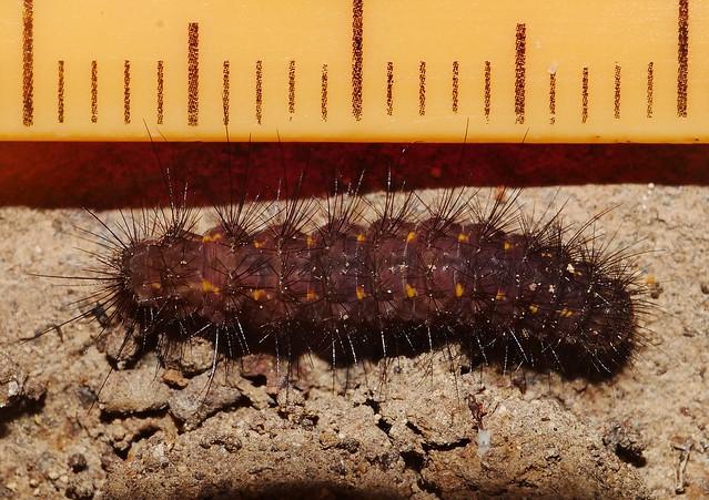 Orange Spotted Hairy caterpillar found under rock Mandalay rainforest Airlie Beach P1240558