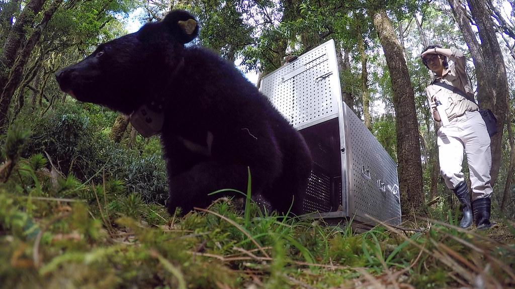 廣原小熊Mulas重返山林周年 林管處取回追蹤頸圈 宣告野放成功