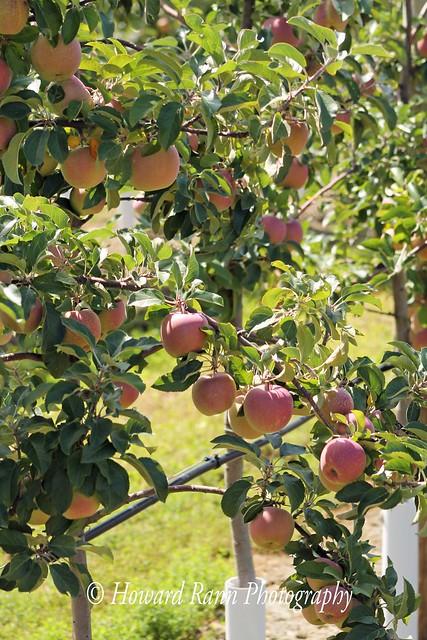 Lakeland Orchard (255)