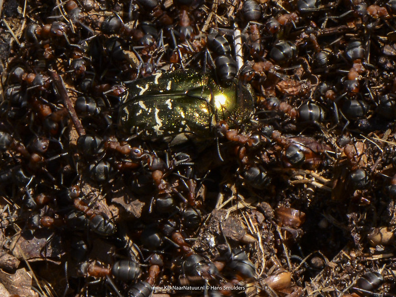 Behaarde bosmier (Formica rufa), Gouden tor (Cetonia aurata)-620_0452