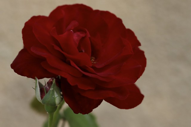 Rose rouge...