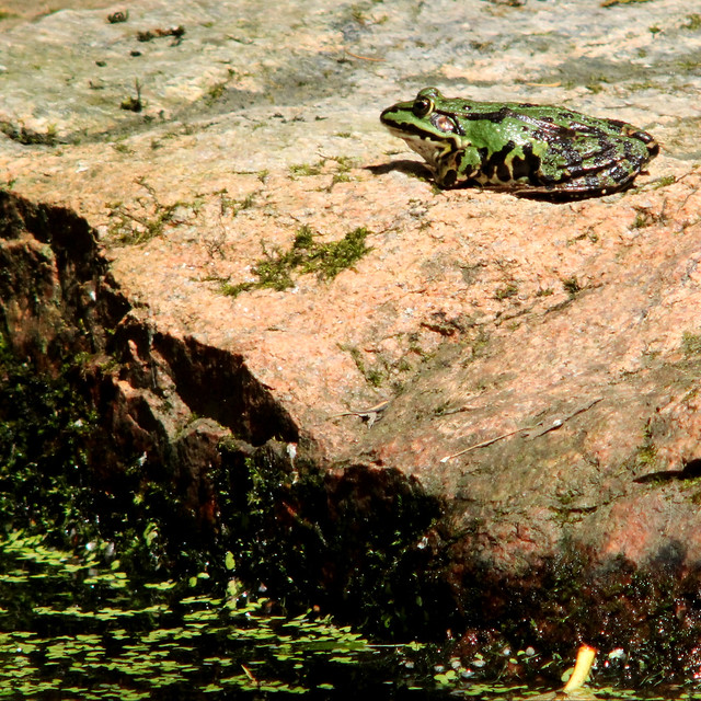Edible frog, Pelophylax kl. esculentus, Ätlig groda