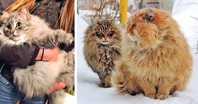 12 Gigantic Cat Breeds We Fell In Love With