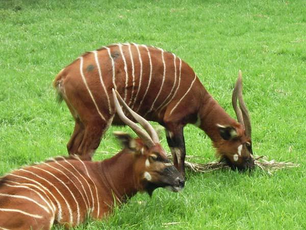 bongo-antelope