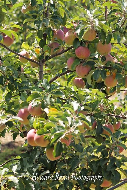 Lakeland Orchard (254)