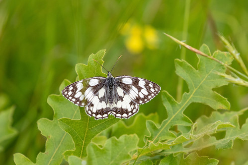 Marbled White | by helen_m_b