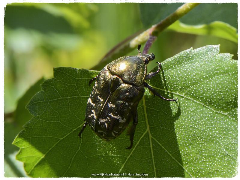 Gouden tor (Cetonia aurata)-620_0460