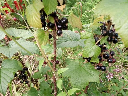 blackcurrants Jul 20