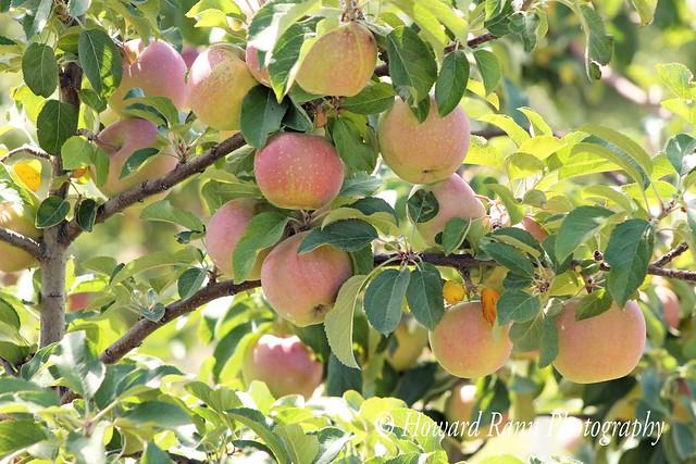 Lakeland Orchard (253)