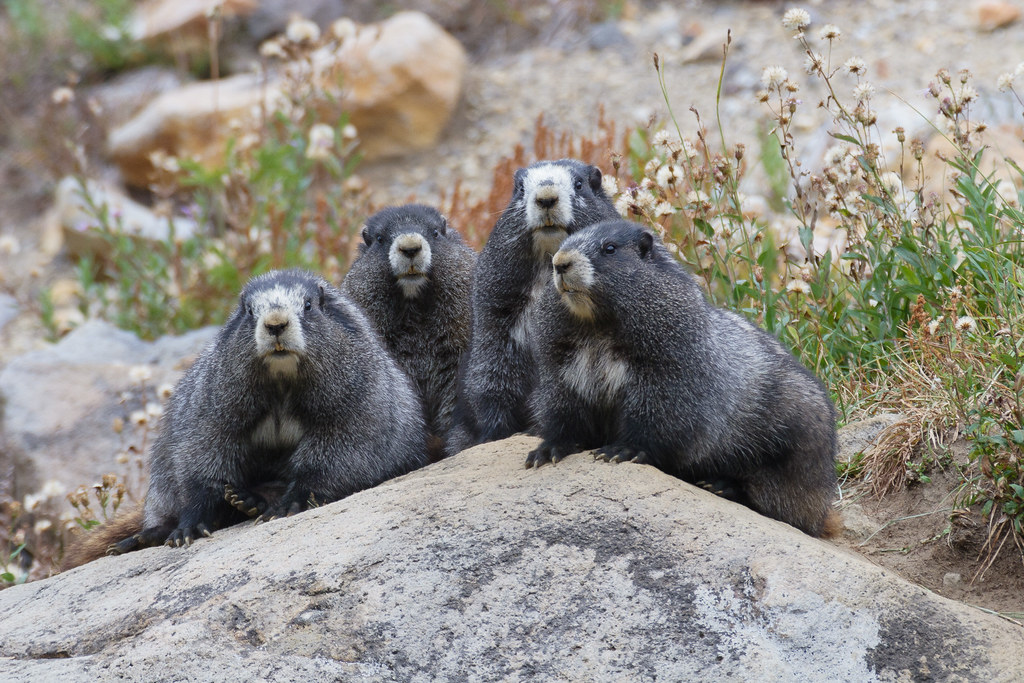 Four hoary marmots with an extensive amount of black fur sit on a large rock near the Skyline Trail in the Paradise area of Mount Rainier National Park in September 2009