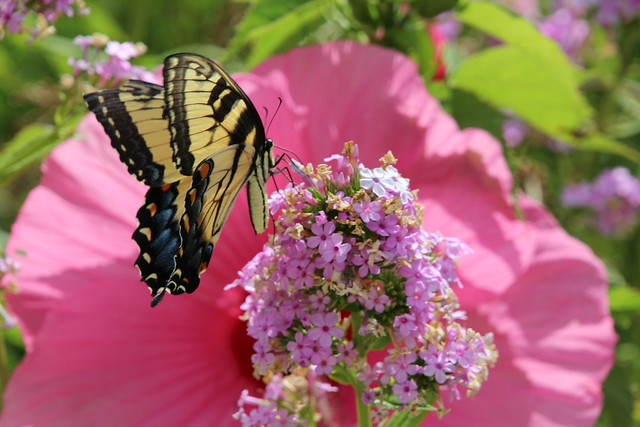Eastern Tiger Swallowtail IMG_6046