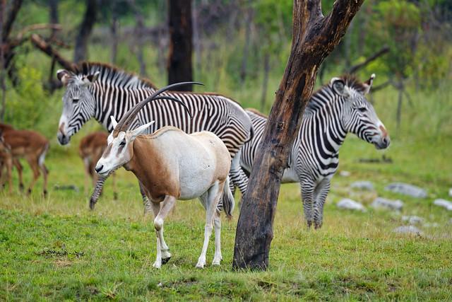 Zebras and Scimitar oryxes