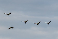 Crowned Crane Group Flying