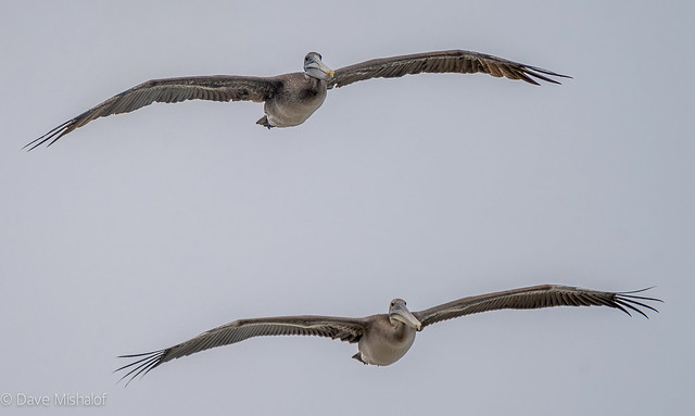 Brown Pelicans flying north up the Coast of California