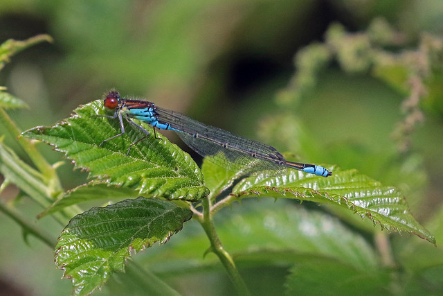red  eyed damselfly (Explore)