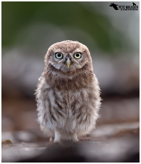 Acorn The Owlet | by Pete Walkden