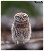 Acorn The Owlet