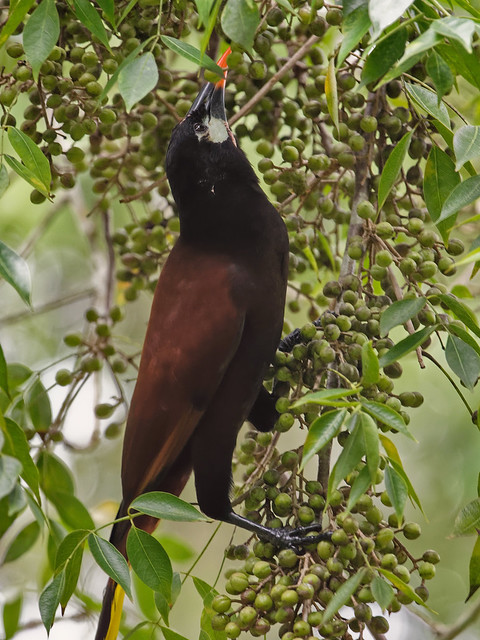 Оропендола-монтезума, Psarocolius montezuma, Montezuma Oropendola