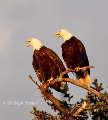 Eagle pair yodeling after mating. Female eagle (larger) is at left, male at right.