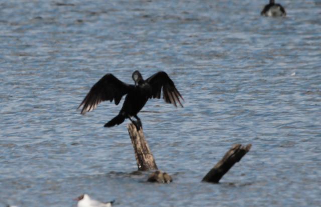 Great cormorant .Storskarv