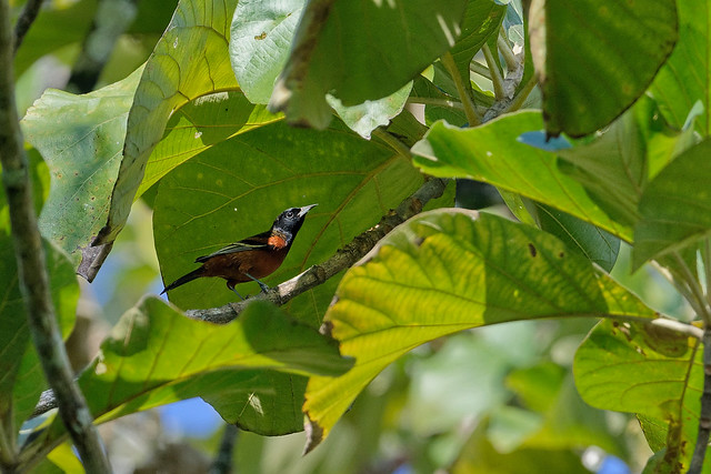 Садовый трупиал, Icterus spurius, Orchard Oriole
