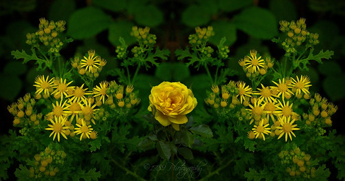 yellowflowers flora nature natural outdoor floral duet mirror asahipentax composition yellow green colour leaf leaves cluster art artwork ngc