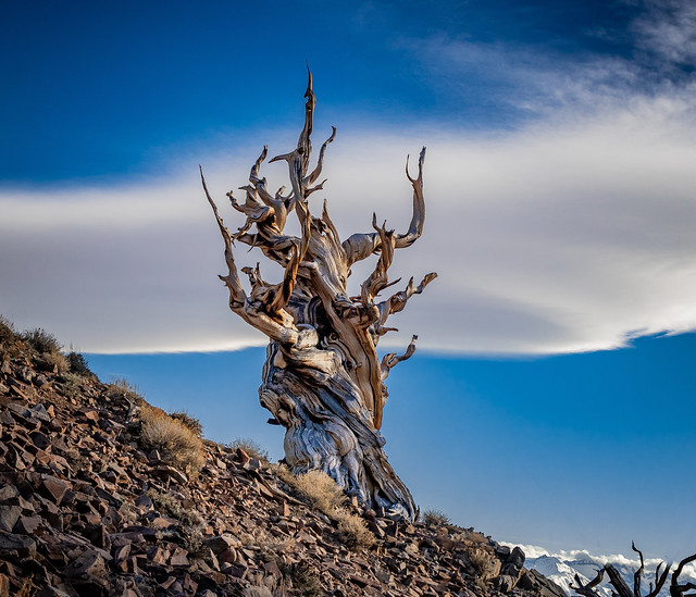 The Sierra Wave & a Ancient Bristlecone Pine Tree