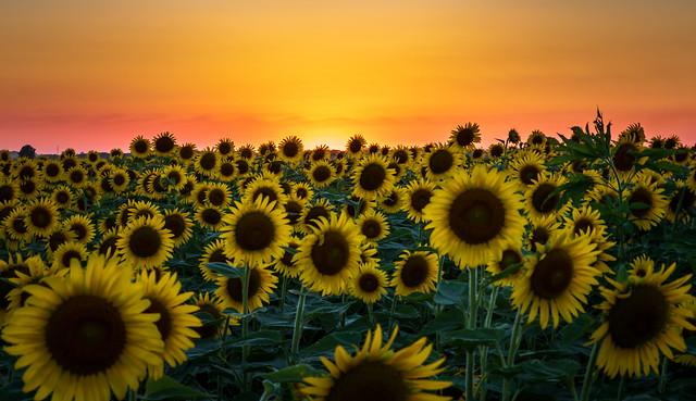 Another Beautiful Sunflower Sunset
