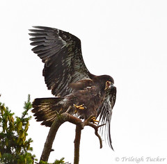 Eaglet leaping in apparent joy after fledging-TrileighTucker