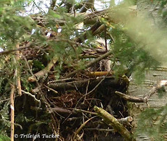 Fuzzy eaglet head in nest