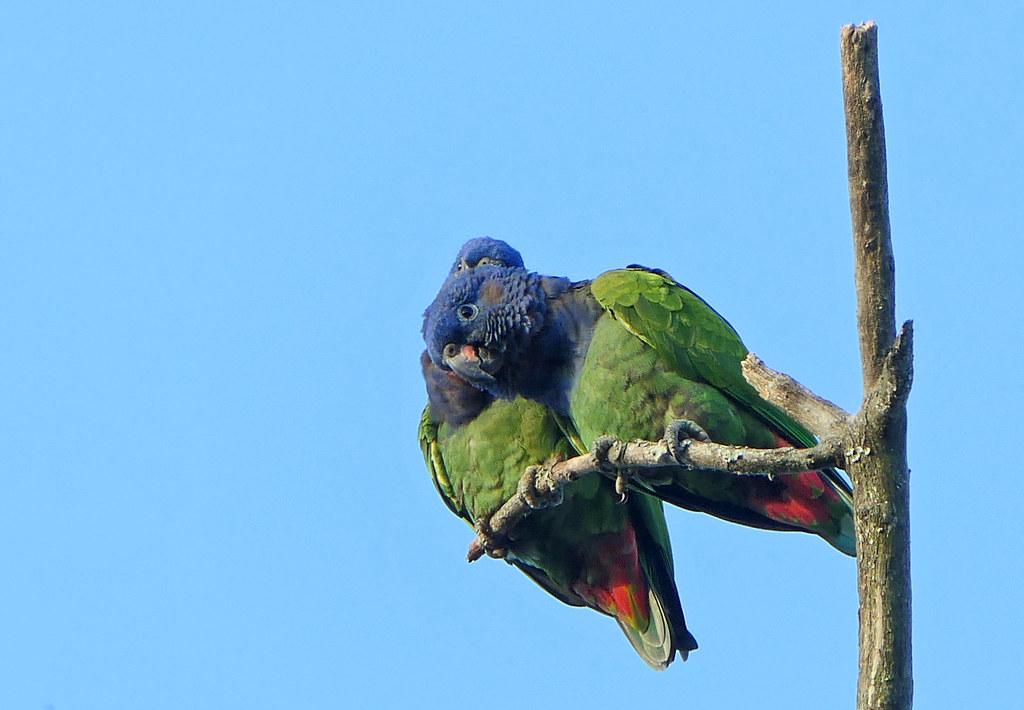 Cotorra Cheja, Blue-headed Parrot (Pionus menstruus)