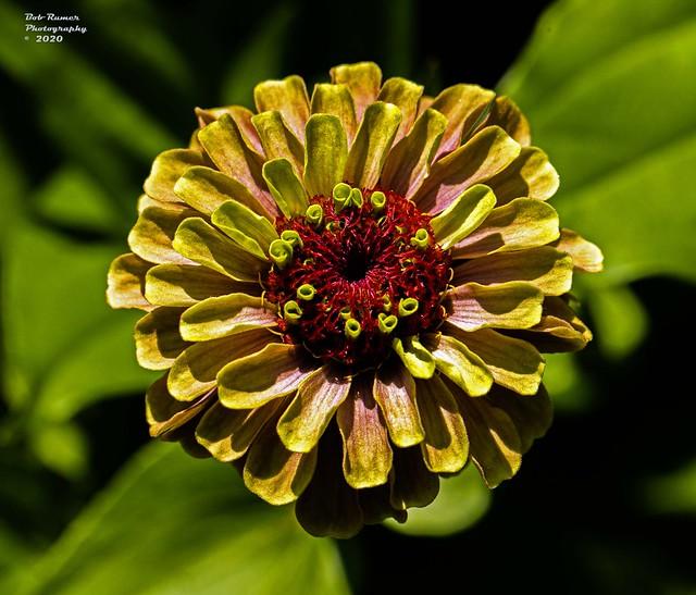 Zinnia Yellow.