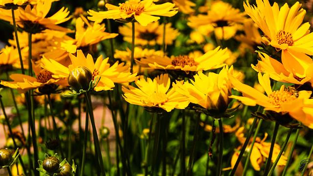 Flaming yellow flower sea
