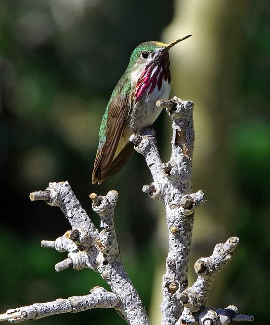 Calliope Hummingbird (Selasphorus calliope), male. Sandia Mountains, New Mexico, USA.