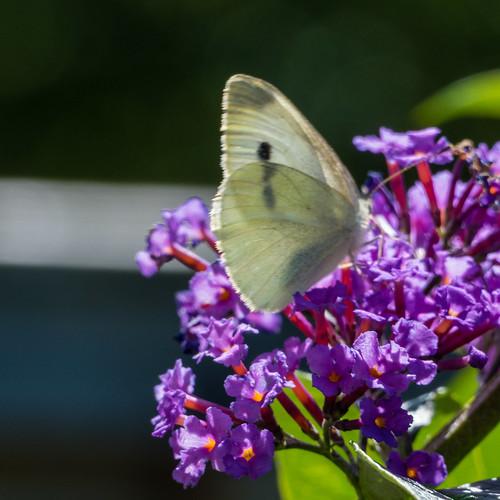 Garden butterflies: small whites