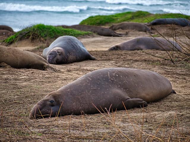 Elephant seals @ Año Nuevo