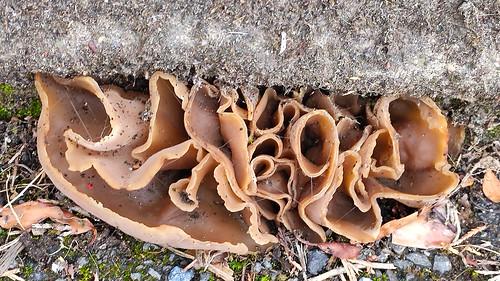 Pavement fungi - palomino cups