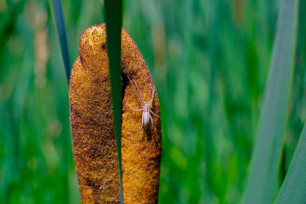 Spider on a Cattail