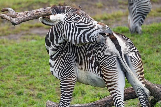 Zebra mare scratching