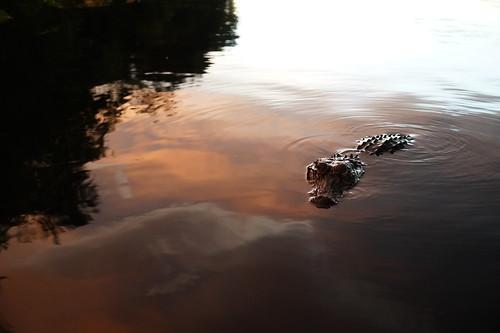 alligator florida sunset stjohnsriver