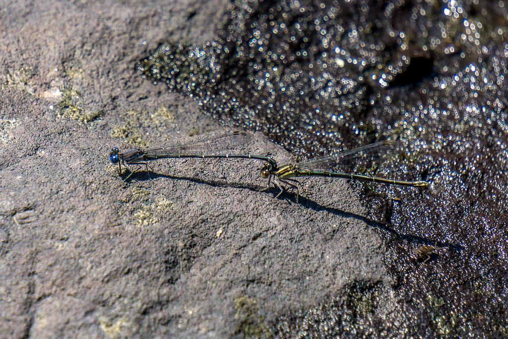 Bluets mating