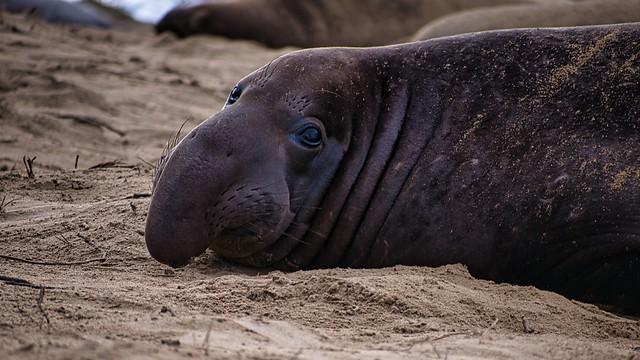 Elephant seal @ Año Nuevo